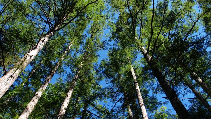 無垢の木の松