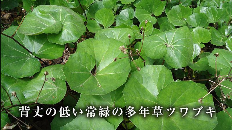 常緑の多年草ツワブキ